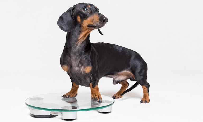 Dachshund stepping on scales