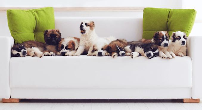 Dogs Socializing Sat on a Sofa