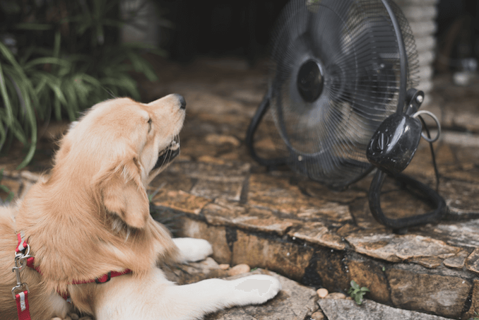 Golden retriever resting infront of a fan.
