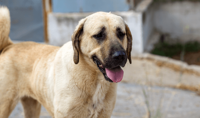 Kangal Breed Profile