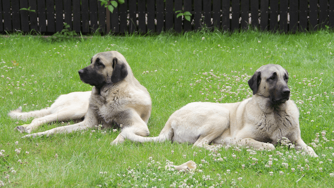 Two Kangal Dogs