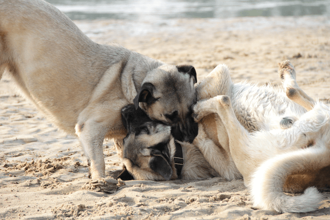 Kangal Dogs Playing