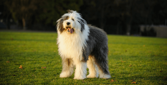 Old English Sheepdog Standing in a Field
