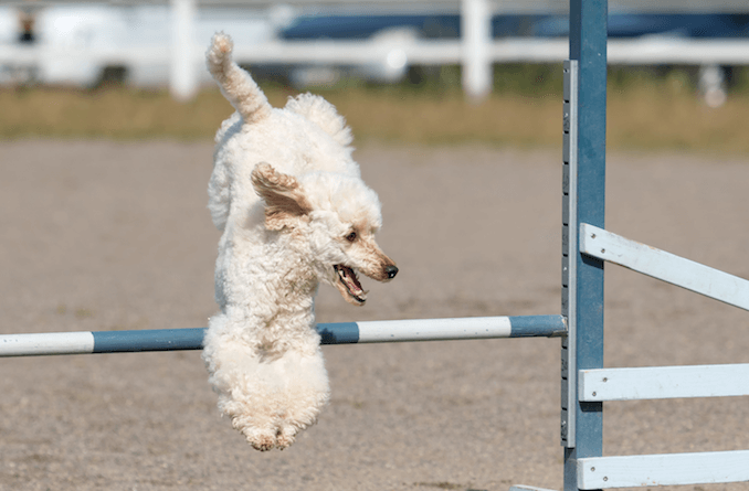 Poodle jumping during an agility class.