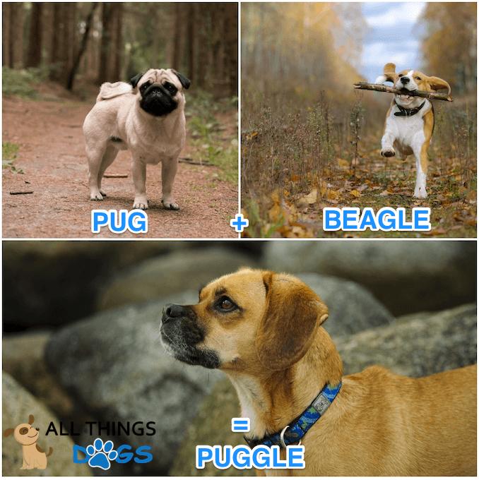 Puggle Cross Breed