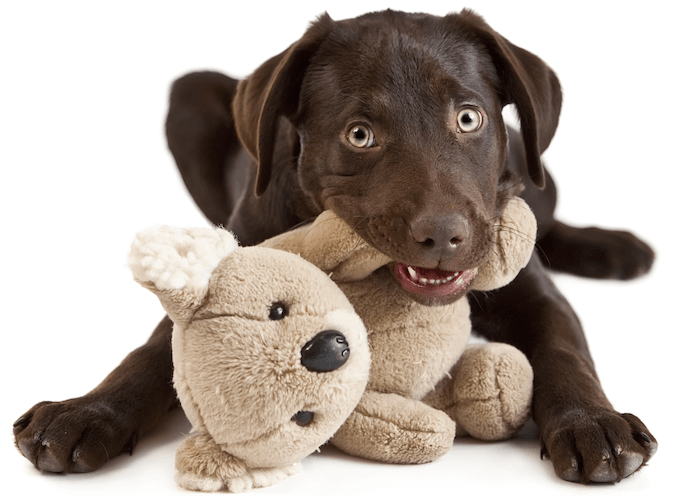 Puppy Chewing on a Teddy Bear