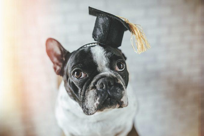 A dog with a graduation cap