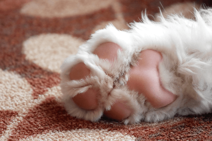 The Paw of a Sheepadoodle