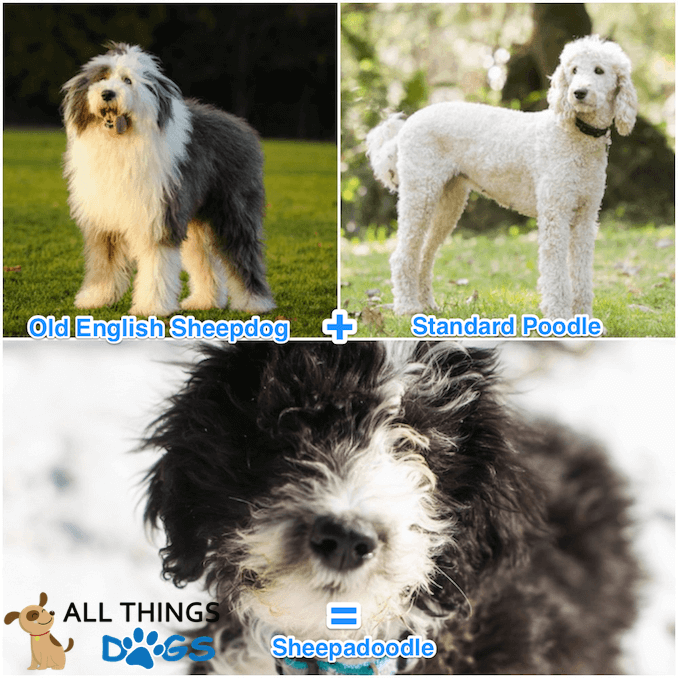 Sheepadoodle What Its Like To Own A Sheepdog Poodle Mix All