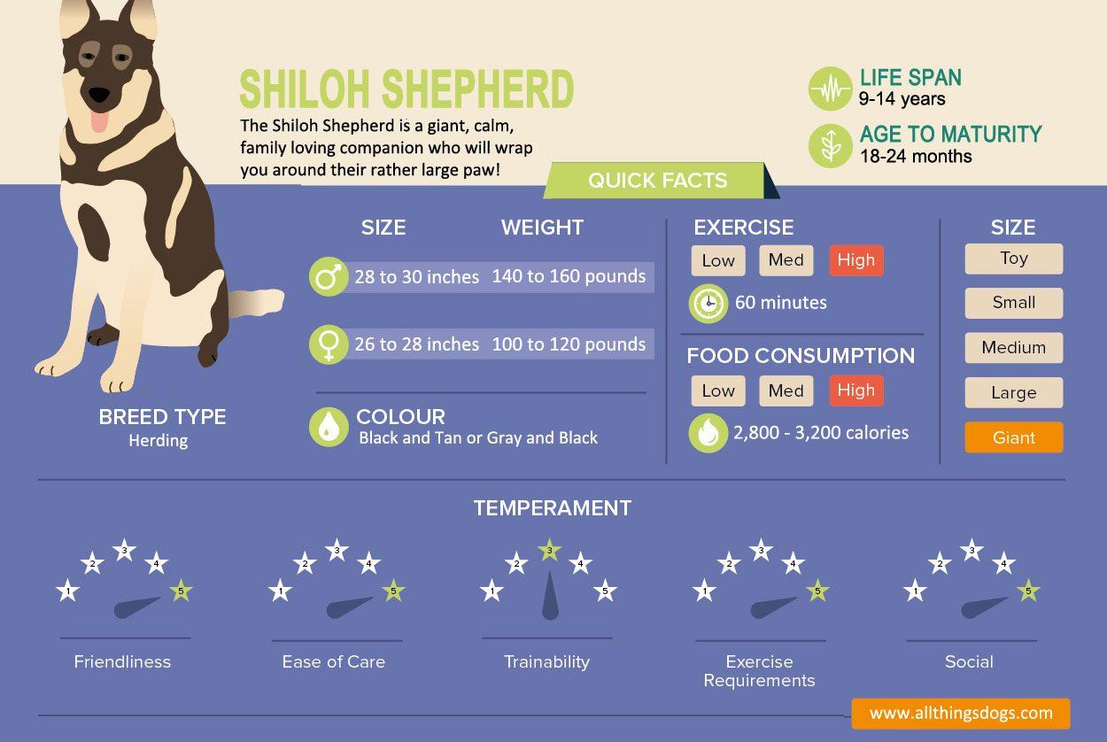 Shiloh Shepherd Infographic