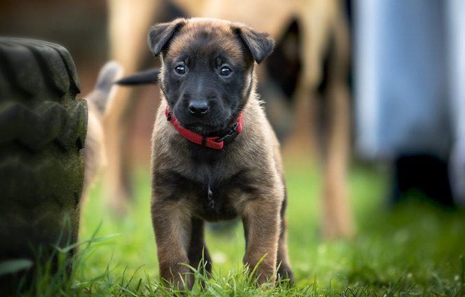 Shiloh Shepherd Puppy