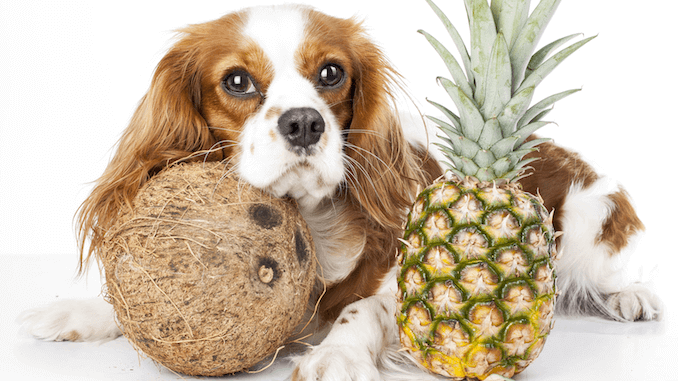 A dog resting on a pineapple