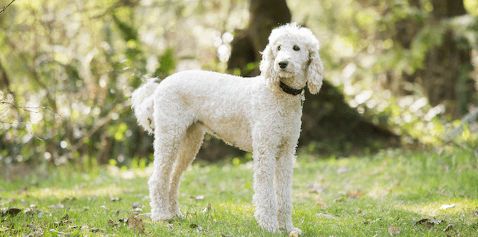 Sheepadoodle What Its Like To Own A Sheepdog Poodle Mix