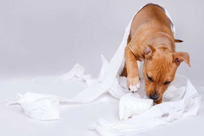 A puppy playing with toilet paper