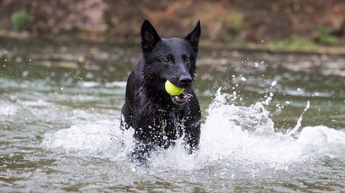 Black German Shepherd The Ultimate Breed Guide All Things Dogs