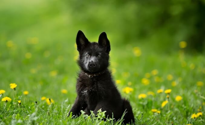 Black German Shepherd Puppy in the Forest