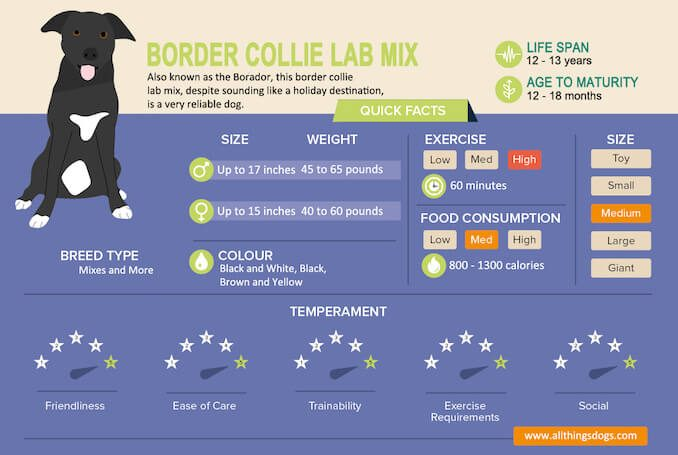 Border Collie Lab Mix Infographic