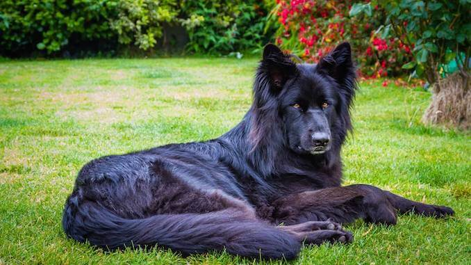 Draconians por Mes - Página 18 Breed-Standard-for-a-Black-GSD