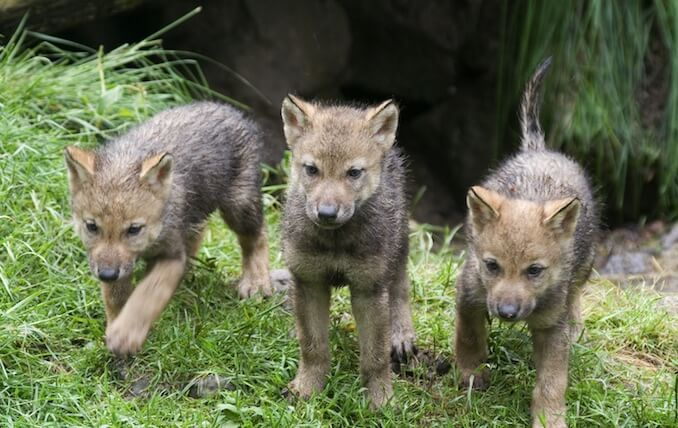 Canis lupus - Wolf Puppies