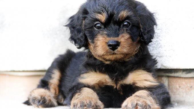 Complete Cavapoo Guide 6 Must Read Facts Cover