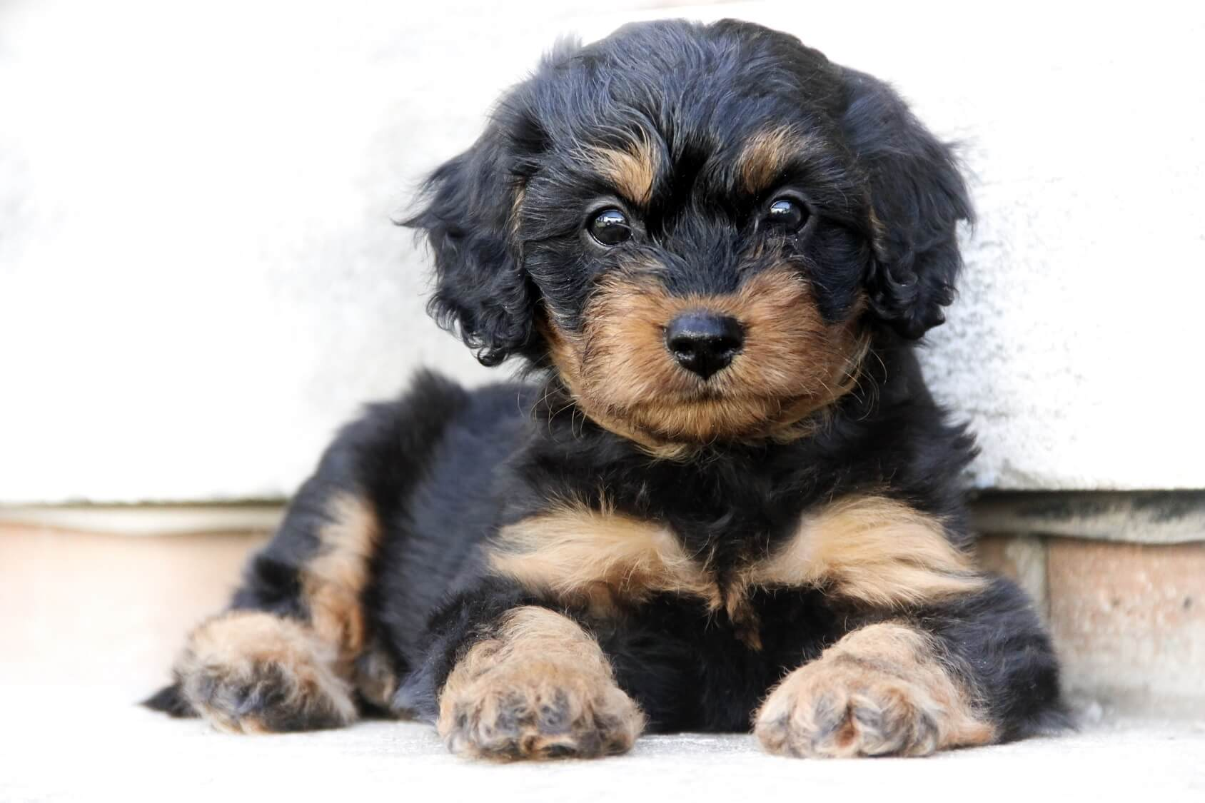 Complete Cavapoo Guide 6 Must Read Facts All Things Dogs All Things Dogs