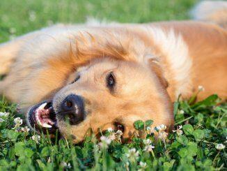 Golden retriever lying down in heat