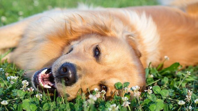 Golden retriever lying down in heat