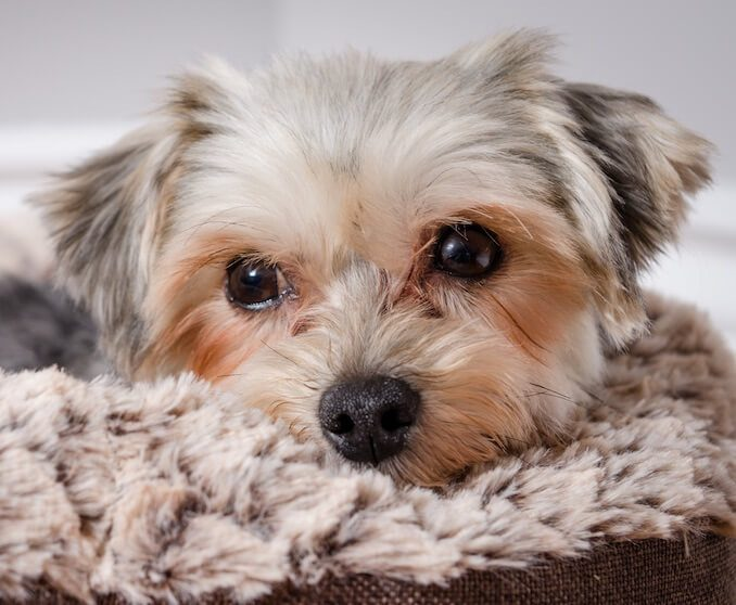 Grooming Requirements of a Maltese Yorkie Mix