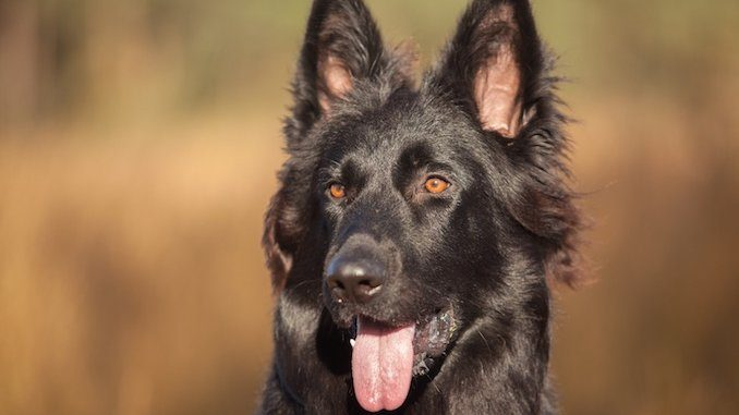 History of Black GSDs