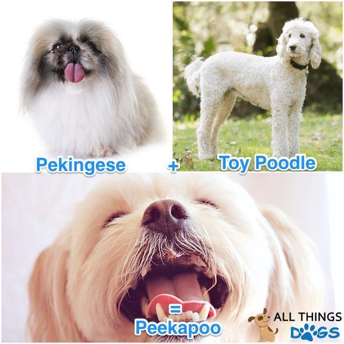 Peekapoo, Pekingese and Poodle