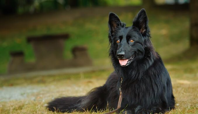 How to Care for a Black German Shepherd