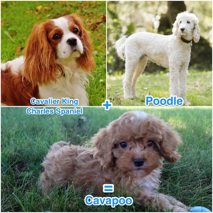 Cavapoo – Breeders, Care Guide, Appearance and Temperament