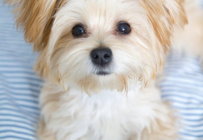 Morkie Dog Complete Guide To Maltese Yorkie Mix All Things Dogs
