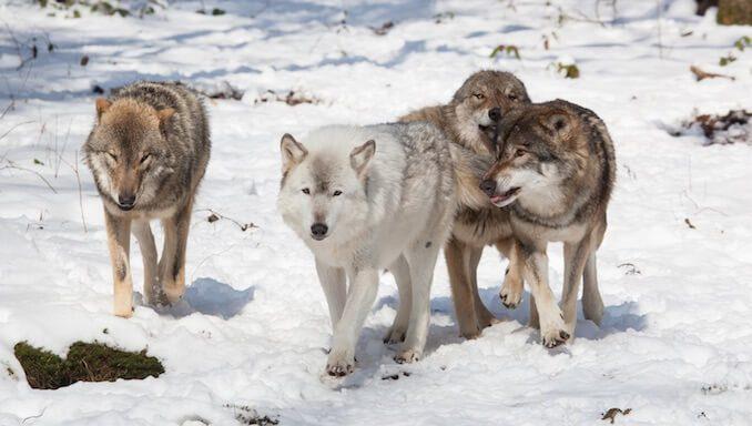 Pack of Wolves Showing Pack Behavior