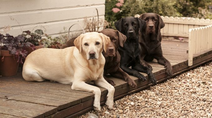 Three Labrador Retrievers on a Door Step