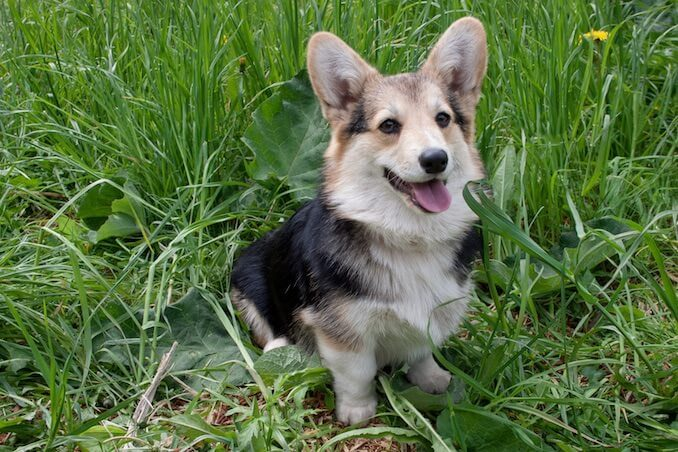 Welsh Corgi Sat in the Grass