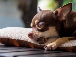 Chug Dog: What It's Like to Own a Chihuahua Pug Mix – All