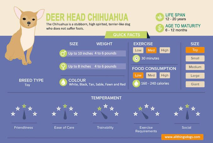 Deer Head Chihuahua Infographic