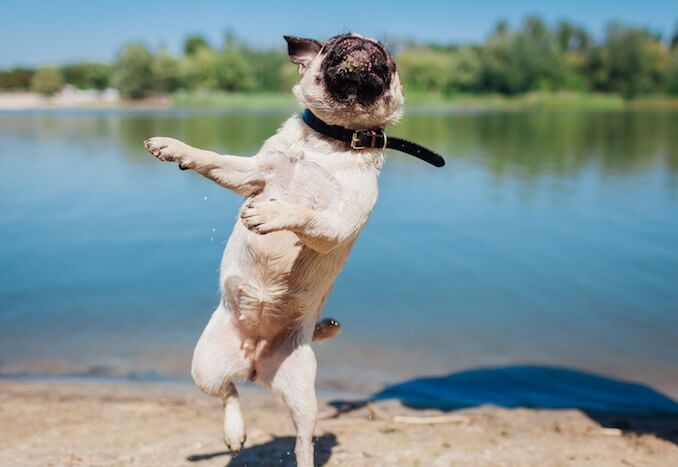 Dog standing on hind legs