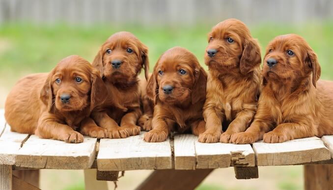 Irish Setter Puppies With Their Dam