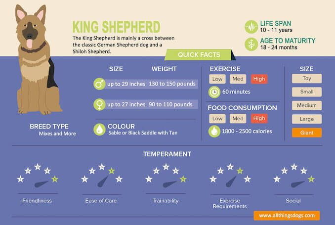 King Shepherd Infographic