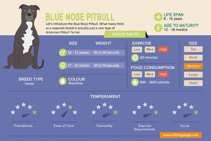 Blue Nose Pitbull: The Complete Dog Breed Guide – All Things
