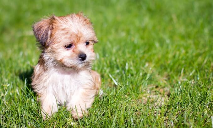Shorkie A Complete Guide To The Shih Tzu Yorkie Mix All Things Dogs