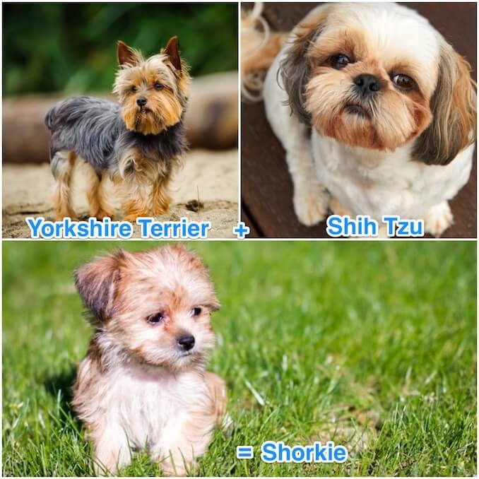 The Temperament of a Shorkie
