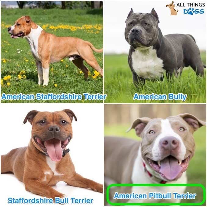 Types of Pitbuls