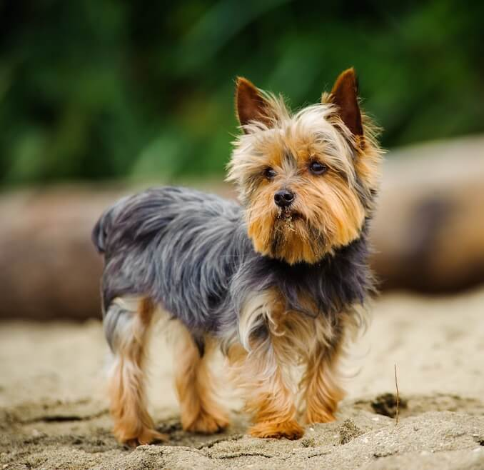 Yorkshire Terrier - The Shorkie Parent