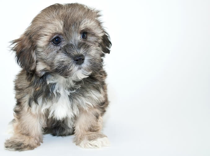 What Is A Havapoo The Havanese Miniature Poodle Mix All Things Dogs
