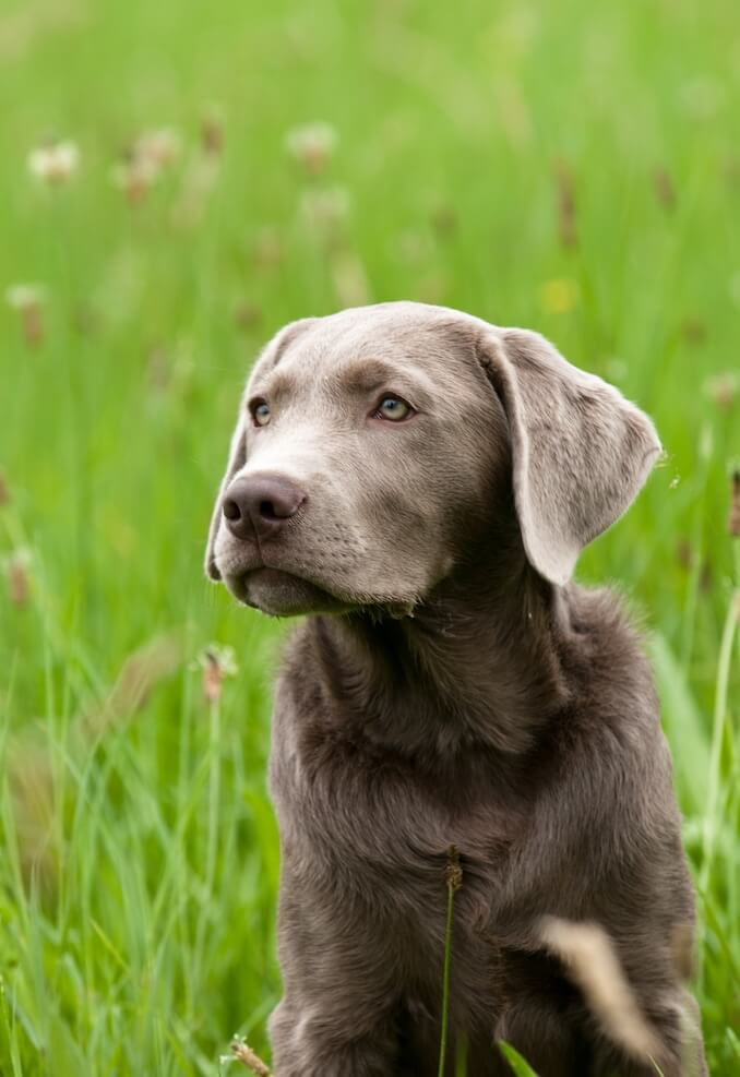 Adult Silver Lab Sitting