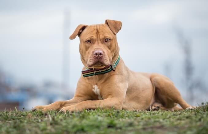 Pitbull Breeds & Types of Pitbulls – A List of EVERY Pitbull