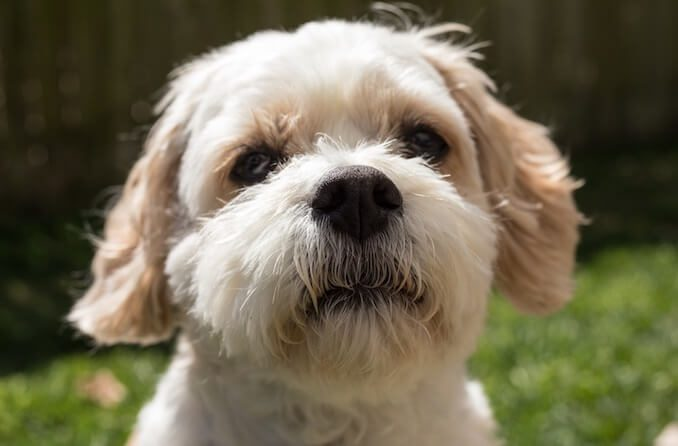 Caring for a Cavachon Dog
